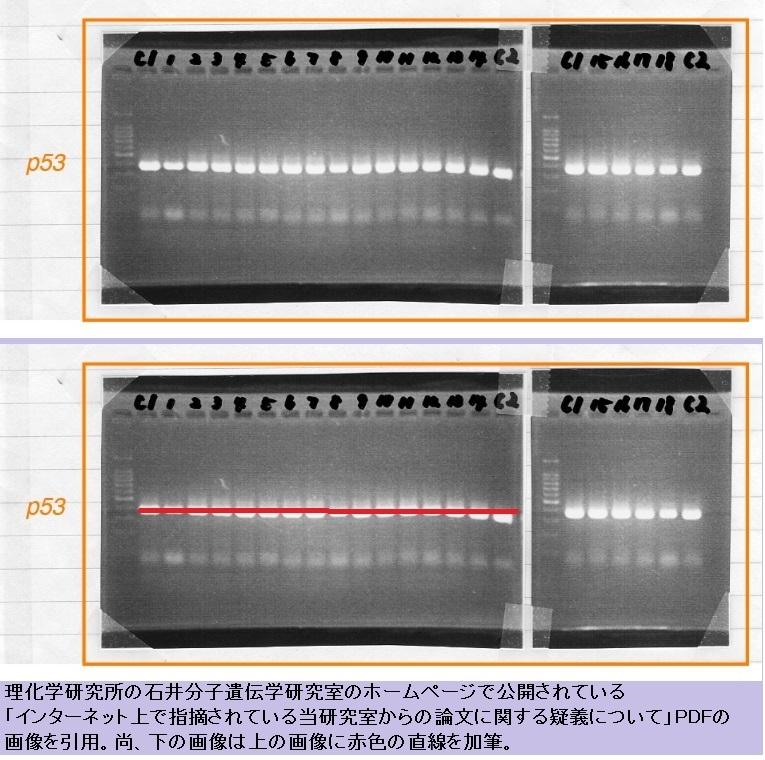 これでは、小保方の電気泳動に関して「標準DNAサイズマーカー」の「直線... 調査報告書中で使わ